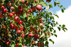Juicy colorful apples on the tree Royalty Free Stock Images