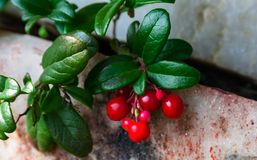 Juicy cowberry grows in a mountain crevice stock images