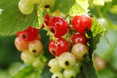 Juicy Currants on a tree!. Bunch of raw and ripe Currants on a tree. Thought of a well macro shot and took it Stock Photo