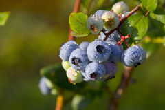 Juicy, Dew Covered Blueberries Ripening in Summer Royalty Free Stock Photo