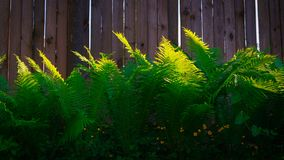 Juicy fern in the garden against the fence royalty free stock photography
