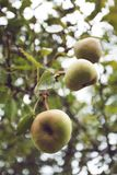 Juicy flavorful pears on the tree, nature background. Vertical.  stock image
