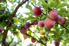 Juicy And Fleshy Plums Hanging In The Tree. Ready For Harvest Royalty Free Stock Images