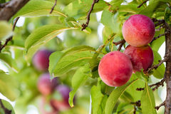Juicy And Fleshy Plums Hanging In The Tree. Ready For Harvest Royalty Free Stock Photos