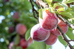 Juicy And Fleshy Plums Hanging In The Tree. Ready For Harvest Stock Photo
