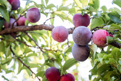 Juicy And Fleshy Plums Hanging In The Tree. Ready For Harvest Stock Images