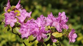 Pink Purple Rhododendron Bloom With Blur Backgrounds. Juicy flowering bush pink rhododendron blossoming in springtime color and beautiful of natural in Europe stock images