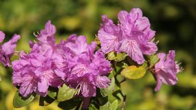 Purple Rhododendron Bloom With Blur Backgrounds. Juicy flowering bush rhodondron blossoming in springtime color and beautiful of natural stock photo
