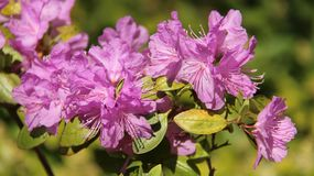 Purple Rhododendron Bloom With Blur Backgrounds. Juicy flowering bush rhodondron blossoming in springtime color and beautiful of natural royalty free stock photo