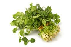 Juicy fragrant coriander Stock Image