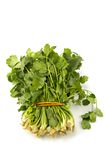 Juicy fragrant coriander Stock Images