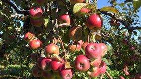 Juicy fresh apple fruit hang on branch. Autumn apple harvest. 4K. Tilt up of red juicy fresh apple fruit hang on green branch apple tree. Autumn apple harvest stock video footage