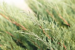 Juicy fresh branches of young green cypress royalty free stock photos