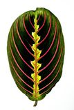 Juicy and fresh leaf isolated on white background. Freshly cut leaf of tropical plant maranta Royalty Free Stock Photos