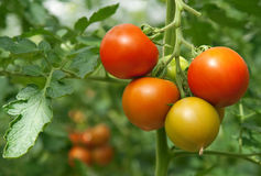Juicy and fresh tomatoes. Growing in a greenhouse Royalty Free Stock Photo