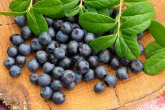 Juicy fresh wild blueberries with green leaves scattered on hand Stock Photos