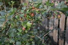 Juicy fruit gooseberries in the summer sunny garden royalty free stock photography