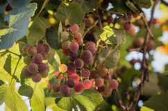 Juicy fruits. Of grapes with a vine royalty free stock photography