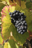 Juicy grapes. Autumn time with grapes in the sun Stock Image
