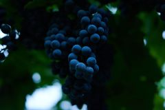 Juicy grapes from garden stock images