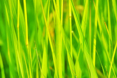 Juicy grass Royalty Free Stock Photo