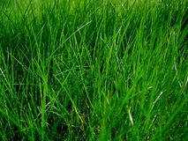 Juicy grass Stock Photography
