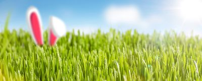 Juicy grass with bunny ears panorama. Sunny grass field with rich green color and blue sky. Bunny ears are sticking out of the grass Royalty Free Stock Photos