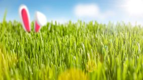 Juicy grass and bunny ears in the sunshine. Fresh green gras and a blue sky in the sunshine. Two bunny ears are sticking out of the grass Royalty Free Stock Photos