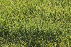 Juicy grass closeup Stock Images