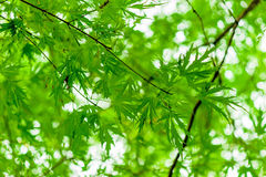 Juicy green branch with young leaves Royalty Free Stock Image