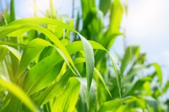 Leaves of corn close-up Royalty Free Stock Images