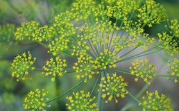 Green fennel umbrella stock image