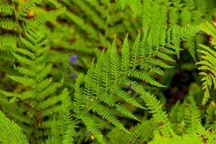 Juicy green fern leaves Stock Image
