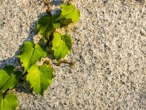 Juicy green grape leaves on the stone wall. Natural summer background template