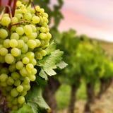 Juicy green grapes Royalty Free Stock Photo