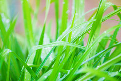 Juicy green grass in drops of water Stock Photos