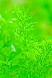 Juicy green leaf dill close-up Royalty Free Stock Photos