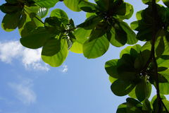 Juicy green leaves on a background of beautiful blue sky. On a sunny day, Vietnam Royalty Free Stock Photography