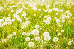 Sunny summer, nature. Juicy green meadow, white fluffy dandelions. Bright sunny day, expanse, countryside. The height of summer, outdoor recreation stock photos