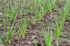 Juicy, green shoots of onion and garlic beds on flat cultivated. Royalty Free Stock Image