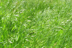 Juicy green summer grass on European beautifully blurred background Royalty Free Stock Photography