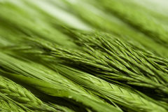 Juicy green wheat and grass. Close-up Stock Photos