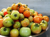 Freshly plucked tomatoes Royalty Free Stock Photography