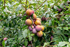 Juicy large blue yellow plums on a branch. Beautiful large redblood, yellow blue plums in orchard Royalty Free Stock Image