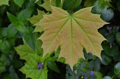 Young leaf of a maple. Juicy leaf on a very young tree of a maple royalty free stock photo