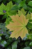 Young leaf of a maple. Juicy leaf on a very young tree of a maple stock photo