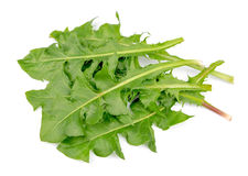 Juicy leafs of a dandelion Stock Image