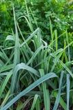 Juicy leek and parsley Stock Images