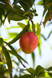 Juicy mango in a tree royalty free stock photography