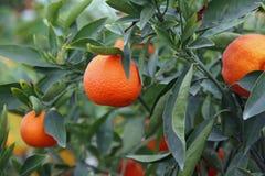 Mediterranean Orange hung on fruit trees Stock Image